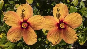 Two exotic and colorful yellowish hibiscus flowers, under strong morning sunlight. Horizontal shot of two large orange hibiscus flowers an ornamental shrub Royalty Free Stock Image