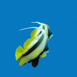 Two exotic fishes bannerfish on a background of blue water, underwater Stock Photography