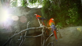 Two Exotic Parrots on a Branch. Two parrots sit on a branch in the afternoon stock footage