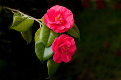 Two exotic, red camelia flowers Stock Photo