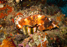 Two eyed lionfish. The two eyed lionfish stay on rock Stock Image