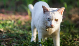 Two-Eyes Colors Thai Cat. Thai Cat with Blue and Yellow eyes colors walking in a garden, Focused on eyes Stock Image