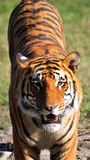 Two face tiger Stock Image