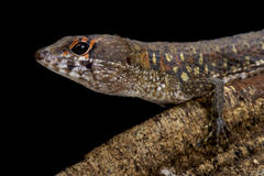 Two faced water teju Neusticurus bicarinatus. The two faced water teju,Neusticurus bicarinatus, is a colorful lizard species found in Suriname down into Brazil Royalty Free Stock Photography