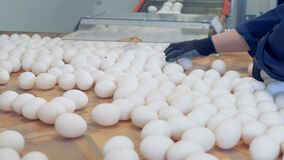 Two factory workers are picking up the eggs which came down from the conveyor belt. 4K stock video