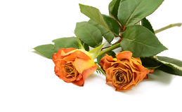 Two faded orange rose flowers on leafy stems Royalty Free Stock Images
