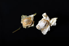 Two faded roses. Faded roses on black background Stock Photography