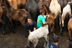 Two faithers and a little horse. PONTEVEDRA - AUG 2: Two fighter holds a wild horse in a traditional celebration Haircut the beasts on August 2, 2009 in Royalty Free Stock Photos