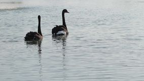 Two faithful swans. Two black swans are swimming in a fountain. Two faithful swans stock video footage