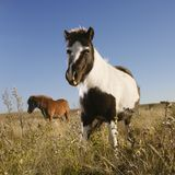 Two Falabella miniature horses. Black and white Falabella miniature horse with brown Falabella miniature horse iin background standing in field Stock Photo