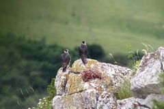 Two falco peregrinus standing on a rock Royalty Free Stock Image