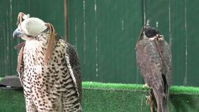 Two Falcons at Doha Souq. Hooded falcons at Falcon Souq near Souq Waqif in Doha city center. Falconry is a hobby very popular in Qatar, Middle East, Arabian stock video
