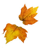 Two Fall Leaves Isolated. Orange, red, yellow, and brown colors Stock Photo