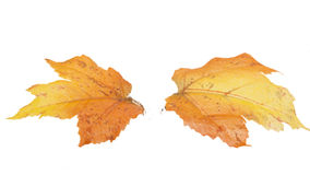 Two Fall Leaves Isolated. Orange, red, yellow, and brown colors Royalty Free Stock Photo