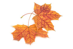 Two fallen beautiful autumn maple leaf Royalty Free Stock Image