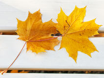 Two fallen maple leaves on bench Stock Photos