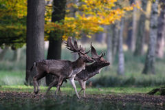 Two fallow buck before fight. Mating time, dama dama stock photography