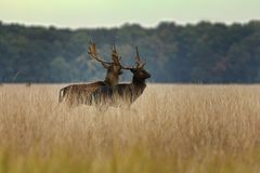 Two fallow deer bucks preparing for the fight Stock Photos