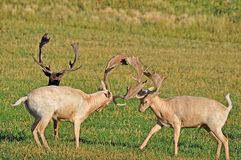 Two Fallow Deer Bucks Sparring in Alfalfa Field royalty free stock photography