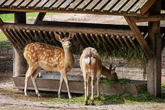 Two fallow deer and feeder Royalty Free Stock Photography