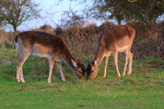 Two Fallow deer feeding Stock Photo