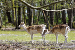 Two fallow deer in forest Stock Photography