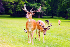 Two fallow deer Stock Photography