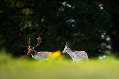 Two Fallow Deer Stags Walking. Together. One is mature while the other is a year or two old and still has single antlers stock photo