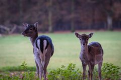 Two fallow deer. Standing in a meadow in the forest. The picture is taken during fall royalty free stock photography