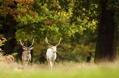 Two Fallow deer walking in the forest. Two Fallow deer Dama dama walking in the forest in autumn, UK royalty free stock images