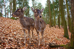 Two fallow deers Stock Images