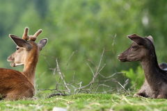 Two fallow deers on meadow Royalty Free Stock Photos