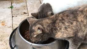 Two family cats sharing pet food from bowl closeup stock video