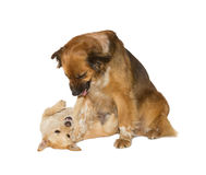 Two family dogs playing Royalty Free Stock Photos