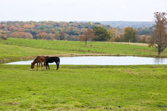 Farm Animals. Two farm animals grazing near a lake during the fall season Stock Photo