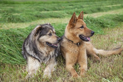 Two farm dogs Stock Image