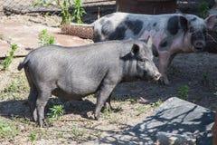 Two farm pigs