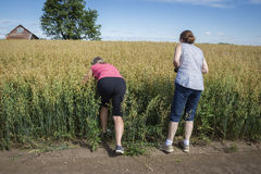 Two farm women standing at the edge of a field of oats  inspecting. Royalty Free Stock Image