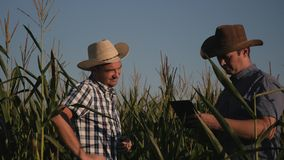 Two farmers in a corn field check the quality of corn plants. Video at sunset. Agricultural products. Healthy Eating stock footage