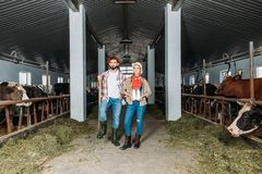 Farmers with fresh milk at cowshed royalty free stock images