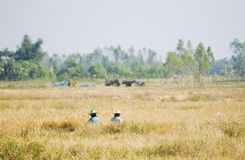 Two farmers harvesting rice by hand Royalty Free Stock Image
