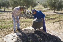 Two farmers unload olives in a heap on the floor Royalty Free Stock Photography
