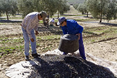 Two farmers unload olives in a heap on the floor Stock Photos
