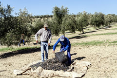 Two farmers unload olives in a heap on the floor Royalty Free Stock Images