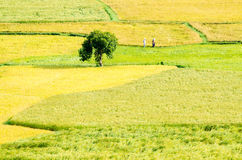 Two farmers are walking in the grain fields, Mekong Delta Royalty Free Stock Image