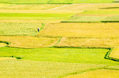 Two farmers are walking in the grain fields, Mekong Delta Stock Image