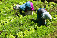 Free Two Farmers Working On A Vegetable Farm Royalty Free Stock Images - 22005839
