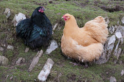 Two farmyard chickens. One Buff and one Black farmyard chickens royalty free stock photo