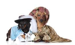 Two fashionable dachshund royalty free stock photo