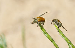 Two fat beetles doing everyday exercises Royalty Free Stock Photo